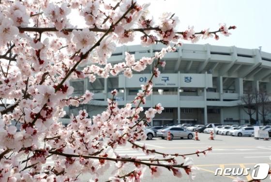 서울 잠실야구장 옆 활짝 핀 벚꽃이 봄을 알리고 있다. /사진=뉴스1